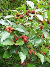 Кудрания (клубничное дерево)
