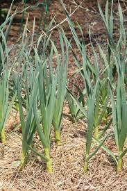 Выращивание и полив чеснока на дачном участке