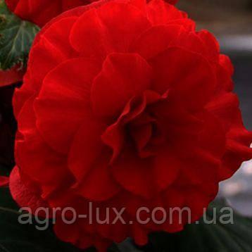 Семена бегонии махровой Лимитлесс темно-красная 100 драже