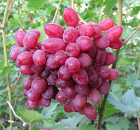 Саженцы винограда Кишмиш Велес