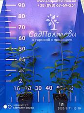 Гортензия метельчатая 2хлетняя Скайфолл /Skyfall/ в конт.1л /2-4побегов/, фото 2