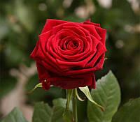 Роза Ред Наоми