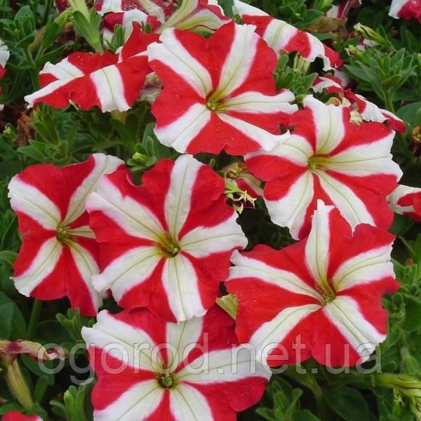 Семена петуния многоцветковая Ламбада 100 шт Hem Zaden Голландия Красная звезда