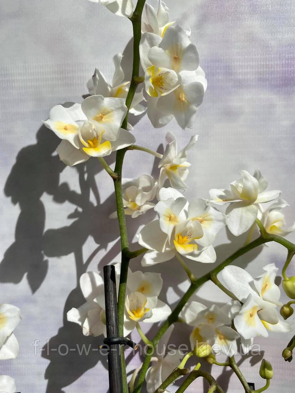 Орхидея Ароматная белая бабочка
