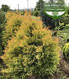 Thuja occidentalis 'Rheingold', Туя західна 'Рейнголд',WRB - ком/сітка,80-100см, фото 6