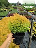Thuja occidentalis 'Rheingold', Туя західна 'Рейнголд',WRB - ком/сітка,120-140см, фото 4