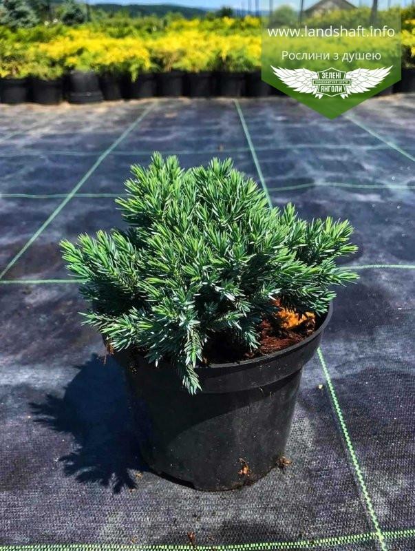 Juniperus squamata 'Blue Star', Ялівець лускатий 'Блу Стар',C2 - горщик 2л