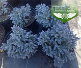 Juniperus squamata 'Blue Star', Ялівець лускатий 'Блу Стар',C2 - горщик 2л, фото 2
