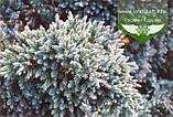 Juniperus squamata 'Blue Star', Ялівець лускатий 'Блу Стар',C2 - горщик 2л, фото 4