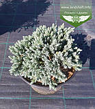 Juniperus squamata 'Blue Star', Ялівець лускатий 'Блу Стар',C2 - горщик 2л, фото 5