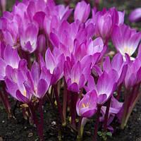 Колхикум (безвременник) Cilicicum purpureum 1 луковица