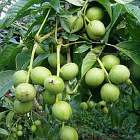 Саженцы Грецкого ореха Кочерженко - (1 летний) Привитой - раннего срока, урожайное, скороплодное