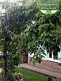 Actinidia arguta, Актинідія гостра,C2 - горщик 2л,60-100см,Чол., фото 2