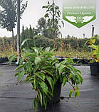 Actinidia arguta, Актинідія гостра,C2 - горщик 2л,60-100см,Чол., фото 6
