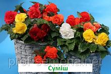 Бегонія бульбова Лімітлесс F1 (колір на вибір) 100 шт