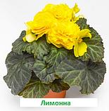 Бегонія бульбова Лімітлесс F1 (колір  на вибір) 100 шт, фото 3