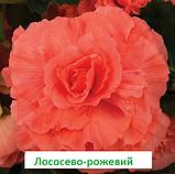 Бегонія бульбова Лімітлесс F1 (колір  на вибір) 100 шт, фото 4