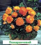 Бегонія бульбова Лімітлесс F1 (колір  на вибір) 100 шт, фото 5