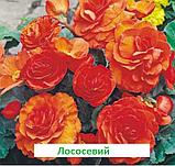Бегонія бульбова Лімітлесс F1 (колір  на вибір) 100 шт, фото 6