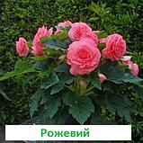Бегонія бульбова Лімітлесс F1 (колір  на вибір) 100 шт, фото 7