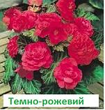 Бегонія бульбова Лімітлесс F1 (колір  на вибір) 100 шт, фото 8
