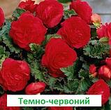 Бегонія бульбова Лімітлесс F1 (колір  на вибір) 100 шт, фото 9