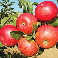 Яблоня сорт Топаз