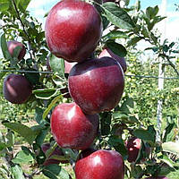 Яблоня сорт Жеромин