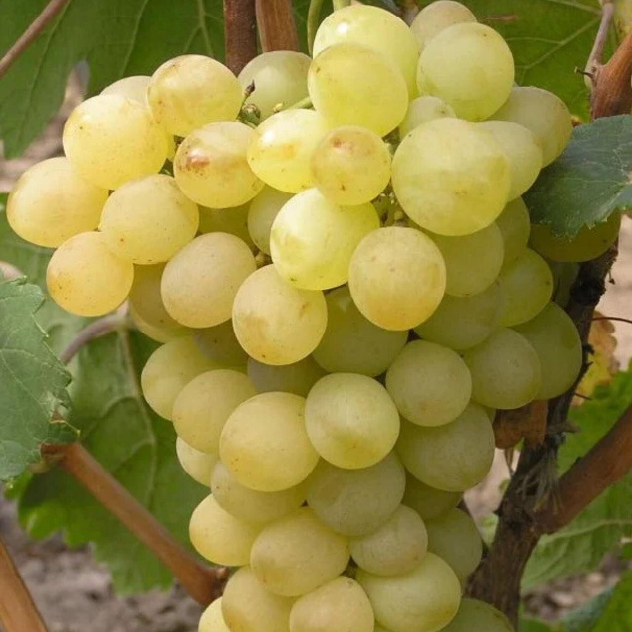 купить саженцы винограда в оренбургской области