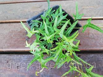 Плющ узколистный Sagittaefolia P9