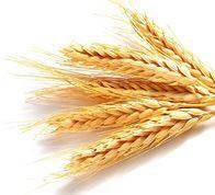 Гидролизованный протеин пшеницы (сухой) 10 грамм