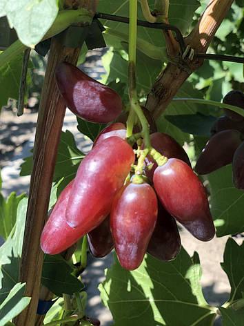 Черенки винограда гф ЗЕВС. Цена указана за одну почку., фото 2