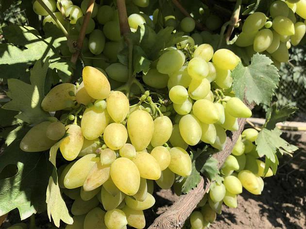 Саженцы винограда ЭЛЬБРУС., фото 2