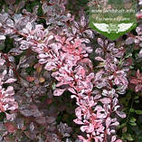 Berberis thunbergii 'Pink Queen', Барбарис Тунберга 'Пінк Квін',C5 - горщик 5л, фото 2