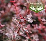 Berberis thunbergii 'Pink Queen', Барбарис Тунберга 'Пінк Квін',C5 - горщик 5л, фото 4