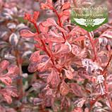 Berberis thunbergii 'Pink Queen', Барбарис Тунберга 'Пінк Квін',C5 - горщик 5л, фото 5