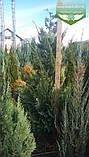 Chamaecyparis lawsoniana 'Alumigold', Кипарисовик Лавсона 'Алюміголд',WRB - ком/сітка,120-140см, фото 4