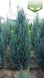 Chamaecyparis lawsoniana 'Columnaris', Кипарисовика Лавсона 'Колумнаріс',Кореневий кому/сітка,80-100см, фото 2