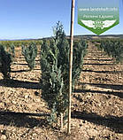 Chamaecyparis lawsoniana 'Columnaris', Кипарисовика Лавсона 'Колумнаріс',Кореневий кому/сітка,80-100см, фото 6