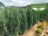 Chamaecyparis lawsoniana 'Columnaris', Кипарисовика Лавсона 'Колумнаріс',WRB - ком/сітка,100-120см, фото 3