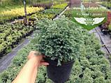Chamaecyparis pisifera 'Boulevard', Кипарисовик горохоплідний 'Бульвард',C2 - горщик 2л, фото 3