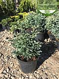 Chamaecyparis pisifera 'Boulevard', Кипарисовик горохоплідний 'Бульвард',C2 - горщик 2л, фото 7