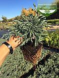 Chamaecyparis pisifera 'Boulevard', Кипарисовик горохоплідний 'Бульвард',C2 - горщик 2л, фото 9