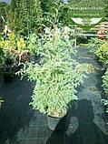 Chamaecyparis pisifera 'Squarrosa', Кипарисовик горохоплідний 'Сквароза',Кореневий ком/сітка,180-200см, фото 2