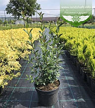 Ligustrum vulgare 'Atrovirens', Бирючина звичайна 'Атровіренс',C2 - горщик 2л