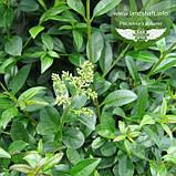 Ligustrum vulgare 'Atrovirens', Бирючина звичайна 'Атровіренс',C2 - горщик 2л, фото 2