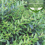 Ligustrum vulgare 'Atrovirens', Бирючина звичайна 'Атровіренс',C2 - горщик 2л, фото 3