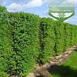 Ligustrum vulgare 'Atrovirens', Бирючина звичайна 'Атровіренс',C2 - горщик 2л, фото 4