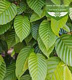 Carpinus betulus, Граб європейський,Кореневий кому/сітка,220-240см, фото 2