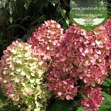 Hydrangea paniculata 'Magical Candle', Гортензія волотиста 'Меджікел Кендл',P7-Р9 - горщик 9х9х9